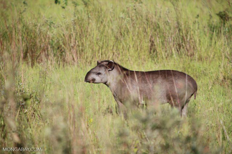 Amazonía de Brasil: Eltapir amazónico(Tapirus terrestris), que se halla desde Costa Rica al norte de Argentina, alcanza los 210 cm y 200 kg. Aquí un especimen juvenil de la especie cuyo estado de conservación es Vulnerable. Foto: Rhett A. Butler