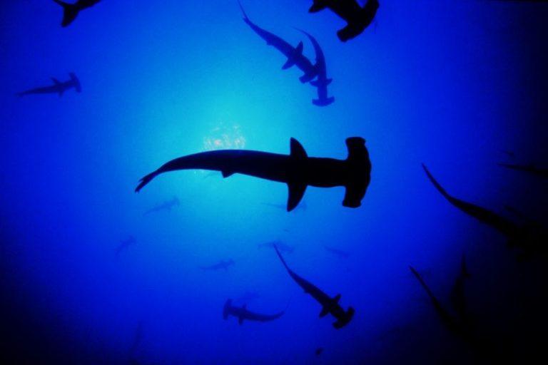 El tiburón martillo es una especie sobreexplotada y que tiene regulaciones para su captura y comercialización. Foto: Oceana.