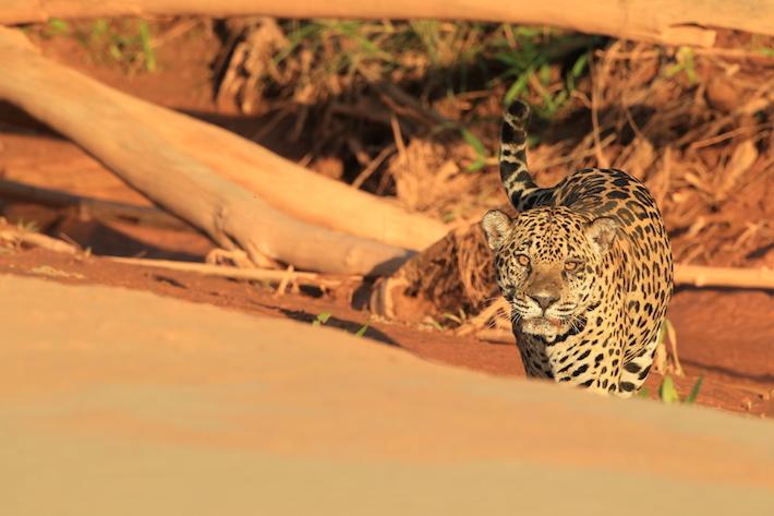 En el once ideal de Perú no podía faltar el jaguar, el felino más poderoso de América. Foto: WCS.