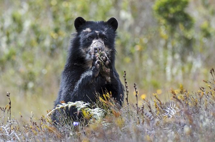 La selección tiene en el arco a un gigante de los ecosistemas, el oso andino. Foto: Michael Tweddle.