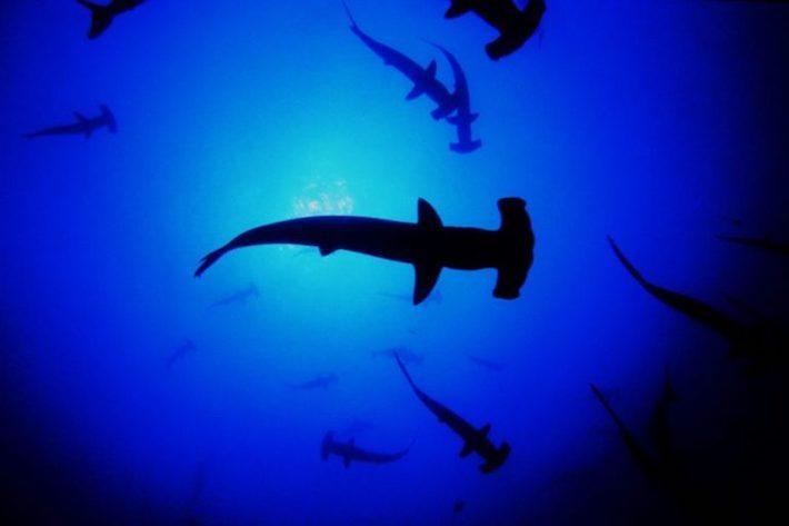 El tiburón martillo siempre al acecho y veloz para aprovechar todas las oportunidades de llegar al arco contrario. Foto: Oceana.