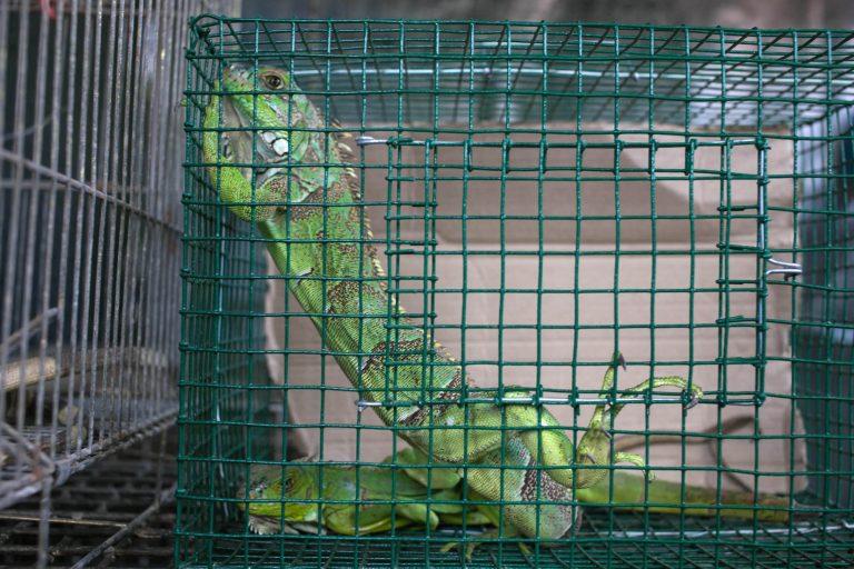 La iguana verde puede alcanzar hasta 2 metros de longitud y se ofertan en internet hasta por 50 soles. Foto: Serfor.