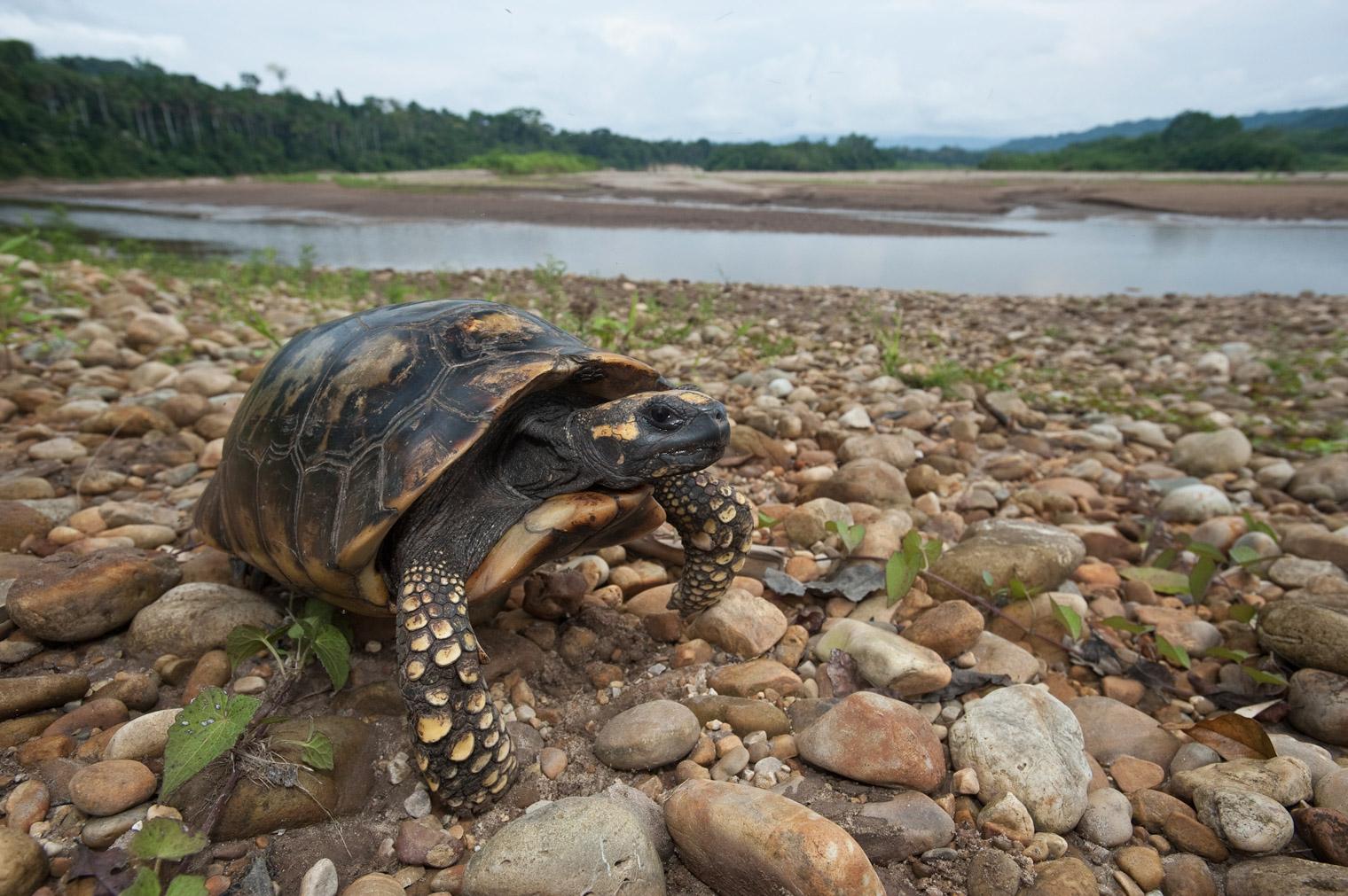 las tortugas motelo se venden a 15 soles en algunos mercados urbanos de la Amazonía peruana. Foto: André Baertschi.