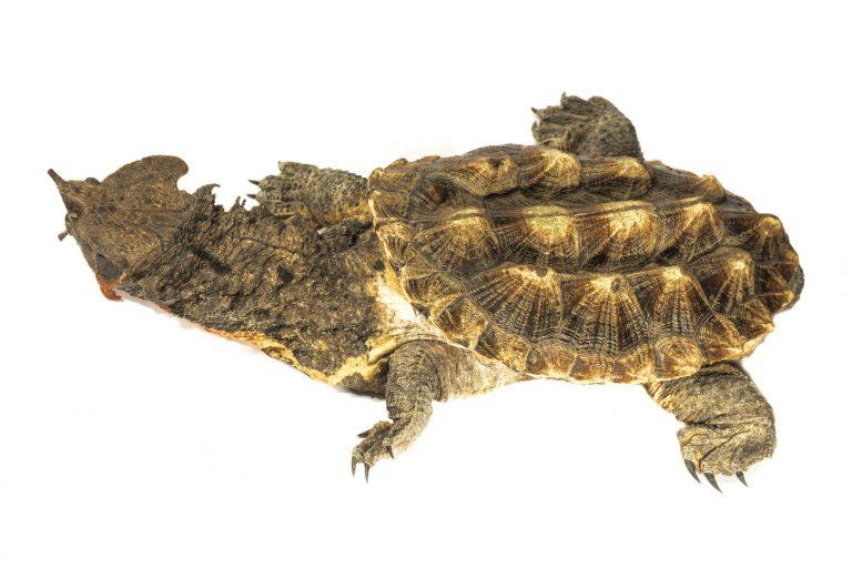 La matamata ocupa el segundo lugar entre las tortugas de río que más se negocia en el mercado ilegal. Foto: WCS.