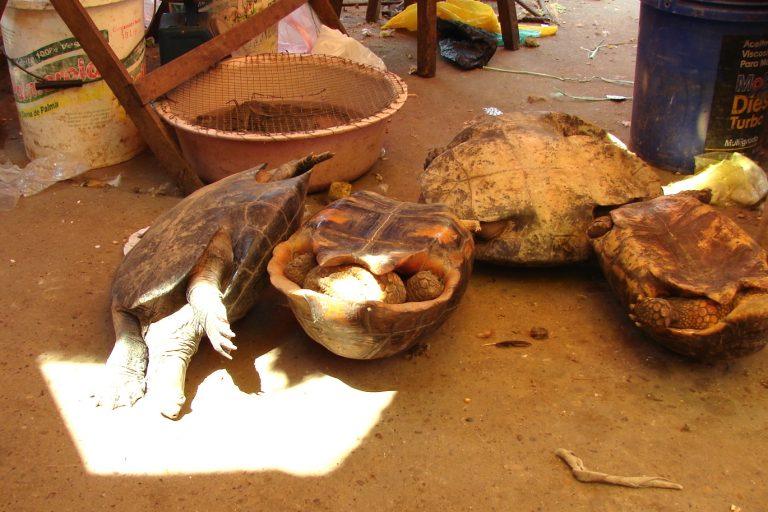 Las tortugas motelo se comercializan en mercado de la Amazonía, en LIma y en zonas de frontera como Tumbes. Foto: WCS.