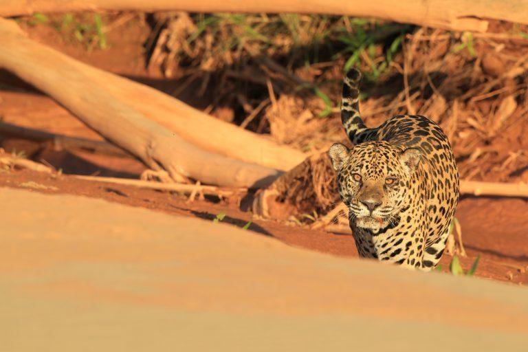 Robert Wallace también ha investigado a los jaguares. Foto: WCS