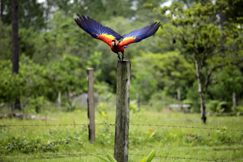 Moskitia: un territorio peligroso para las guacamayas rojas en Honduras