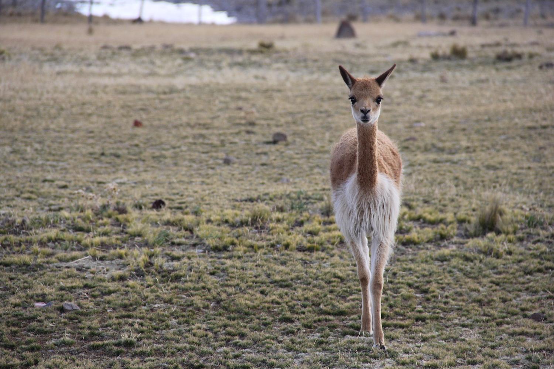 En los años '60, la población total de vicuñas en el país bordeaba los 5000 ejemplares. Hoy los departamentos andinos de Perú albergan 200 000 y solo la Reserva Nacional Pampas Galeras Bárbara D'Achille tiene 5000. Foto: Vanessa Romo
