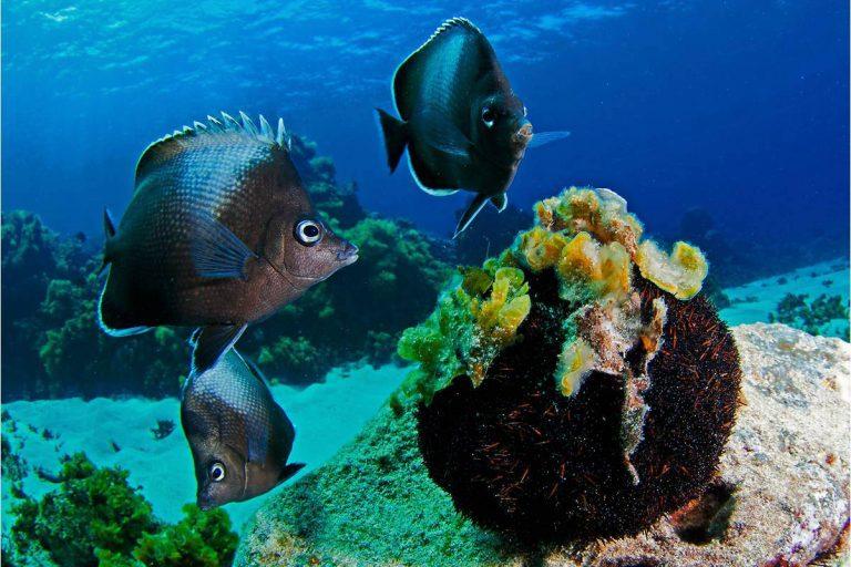 El área marina protegida Rapa Nui alberga por lo menos 140 especies únicas. Foto: Esmoi.