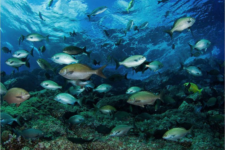 En el mar de Isla de Pascua existen 27 especies incluidas en la Lista Roja de la Unión Internacional para la Conservación de la Naturaleza. Foto: Esmoi.