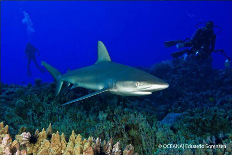 Los tiburones forman parte de la biodiversidad que ahora estará protegida en el área marina de Rapa Nui. Foto: Eduardo Sorensen / Oceana
