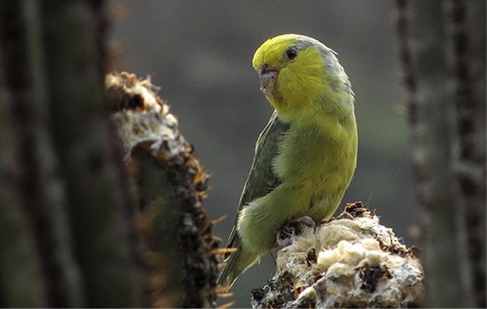 Periquito cabeza amarilla (Forpus xanthops), morador de los bosques secos del Marañón. Foto: Jorge Novoa.