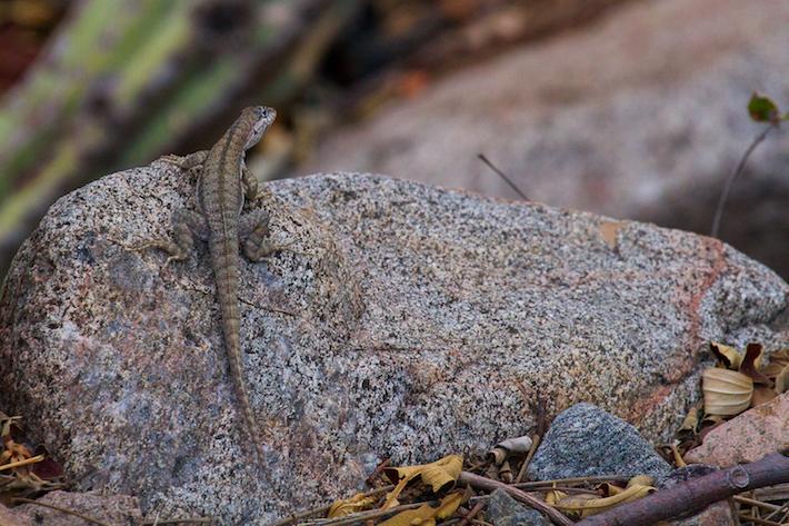 El 82 % de las lagartijas que hay en esta ecorregión son endémicas. Existen también dos especies de anfibios propios de esta zona. Foto: Michell León / Naturaleza y Cultura Internacional.