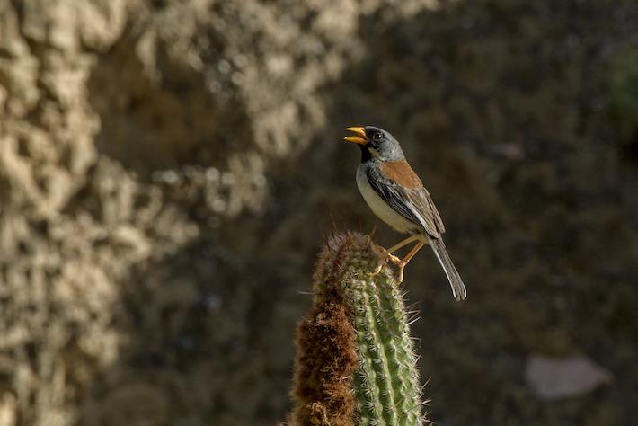 El fringilo inca de frenillo anteado es otra especie endémica de ave en el espacio del bosque seco. Existen tres especies de fringilo que solo se encuentran en esta área. Crédito: Michell León / Naturaleza y Cultura Internacional