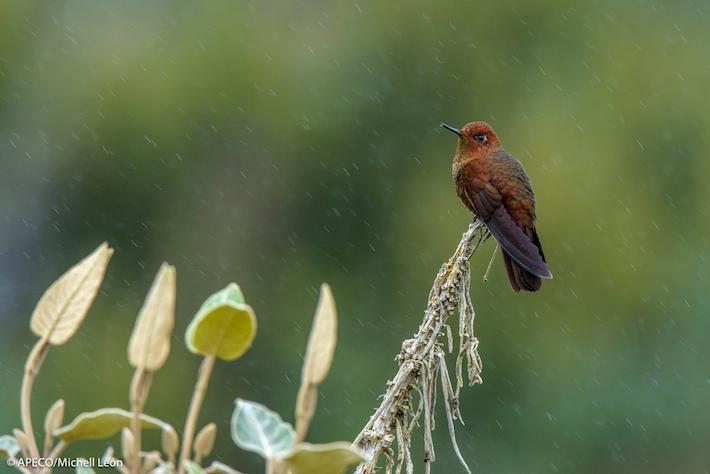 Se han identificado 168 especies de aves (10 endémicas). Foto: Michell León-Apeco.