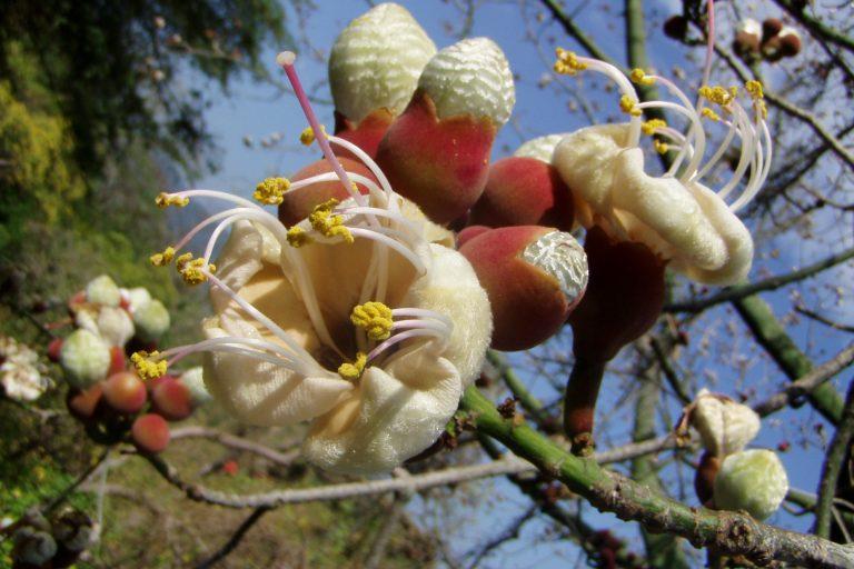 Flor de ceibo en árbol de ceibo en bosques secos del Ecuador. Foto: Naturaleza y Cultura Internacional.