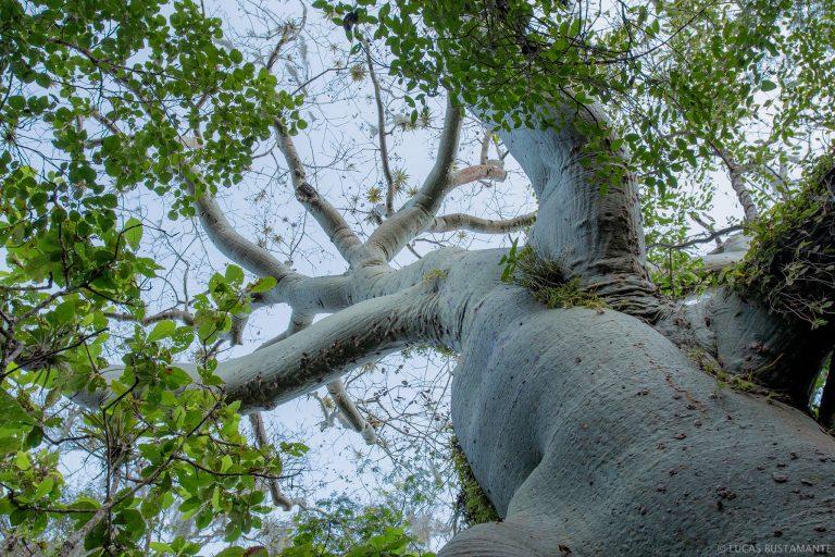 Árbol de ceibo, típico del bosque seco en Ecuador. Foto: Lucas Bustamante, Naturaleza y Cultura Internacional.