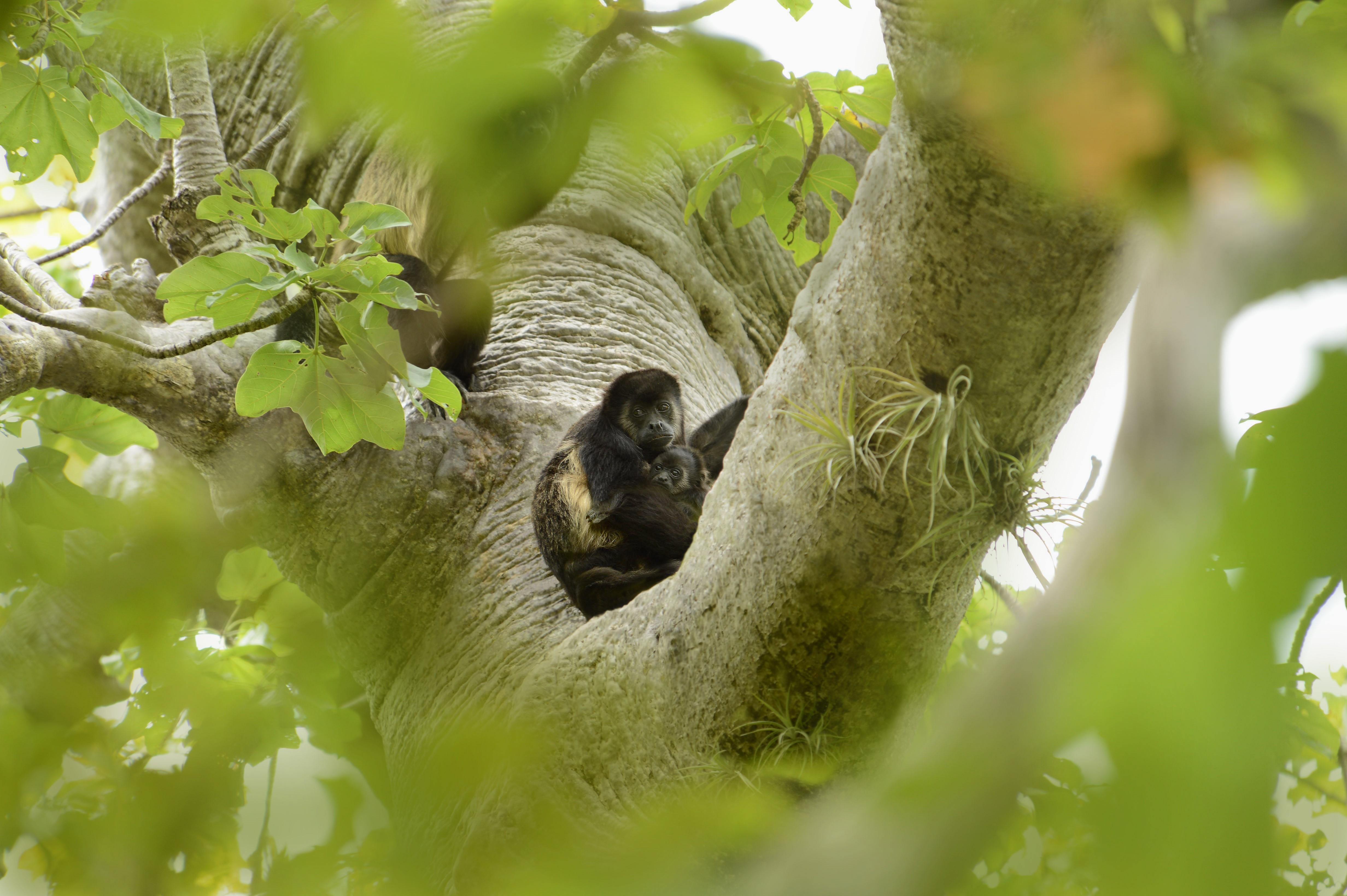 Monos aulladores en el bosque seco de Ecuador. Foto: Fabián Rodas, Naturaleza y Cultura Internacional.