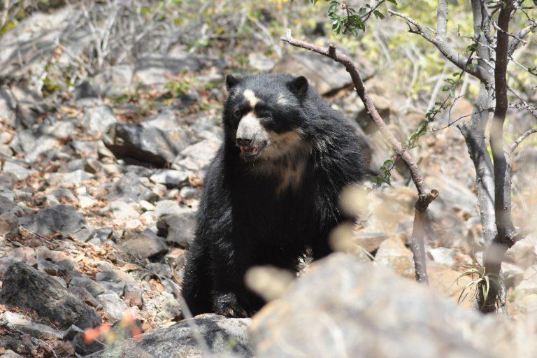 El oso andino habita en Venezuela, Colombia, Ecuador, Perú y Bolivia. Foto: SBC Perú.