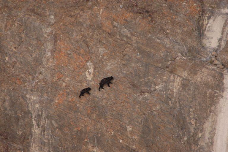 Los osos andinos habitan entre los 200 metros de altura y 4000 metros de altitud. Foto: SBC Perú.