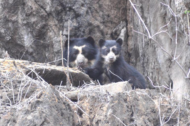 La distribución del oso de anteojos abarca la cordillera del Cóndor, en Amazonas, hasta Sandia, en Puno. Está categorizado como Vulnerable. Foto: SBC Perú