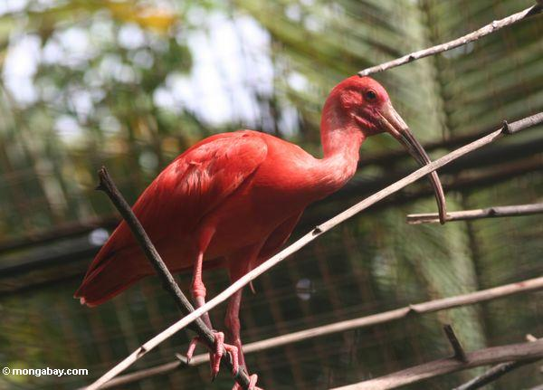Animales de Surinam: El corocoro rojo (Eudocimus ruber), también conocido como ibis escarlata, habita en las zonas tropicales del norte de Sudamérica. Foto: Rhett A. Butler / Mongabay