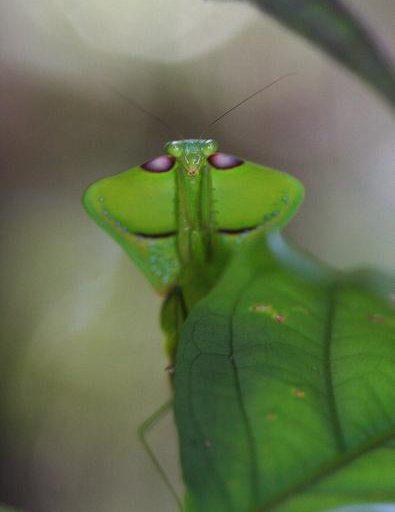 Animales de Surinam: Un especímen de Choeradodis (quizas C. strumaria), conocidas como las mantis cobra, captada en el Parque Natural Brownsberg, en el distrito de Brokopondo. Foto: Rhett A. Butler / Mongabay