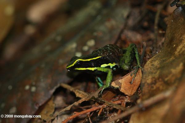 Animales de Surinam: La Ameerega trivittatus es una rana venenosa que se encuentra también en los bosques húmedos de gran parte de Sudamérica. Las hembras son más grandes que los machos, 55 milímetros a 42, respectivamente. Foto: Rhett A. Butler / Mongabay
