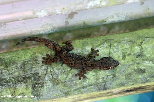 Animales de Surinam: El gecko cola de nabo (Thecadactylus rapicauda) es una especie grande, que alcanza los 120 milímetros. Su cola es usada para almacenar grasa, por lo que adquiere su peculiar forma, y puede perderla para escapar de depredadores. Foto: Rhett A. Butler / Mongabay