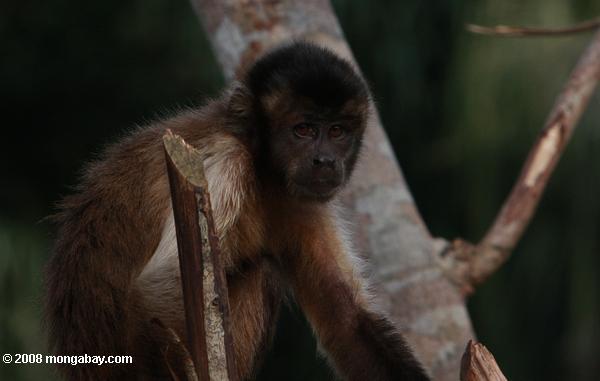 Animales de Surinam: El mono maicero (Sapajus apella), también conocido como capuchino de cabeza dura, tiene una gran distribución en la zona norte de América del sur. En Surinam es llamado bondo. Alcanza los 49 centímetros y es omnívoro. Foto: Rhett A. Butler / Mongabay