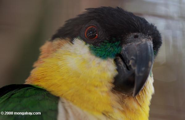 Animales de Surinam: El caique de cabeza negra (Pionites melanocephalus) habita en gran parte de la cuenta norte del río Amazonas. Este individuo fue captado en el Parque Natural Brownsberg, en el distrito de Brokopondo. Foto: Rhett A. Butler / Mongabay