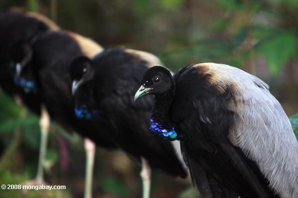 Animales de Surinam: El trompetero aligrís (Psophia crepitans) es conocido por su vocalización, un sonido grave y fuerte que puede se oye a grandes distancias. Estos especímenes fueron captados en el Parque Natural Brownsberg, en el distrito de Brokopondo. Su estado de conservación es Casi amenazado. Foto: Rhett A. Butler / Mongabay
