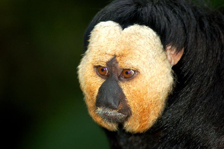 Animales de Surinam: El sakí cariblanco (Pithecia pithecia) es conocido por ser una de las especies que se empareja de por vida. Son animales mayormente arbóreos. Cuando ven un depredador, como un jaguar, el grupo de primates puede vocalizar su alarma hasta 88 minutos. Foto: Alias 0591 / Wikimedia Commons