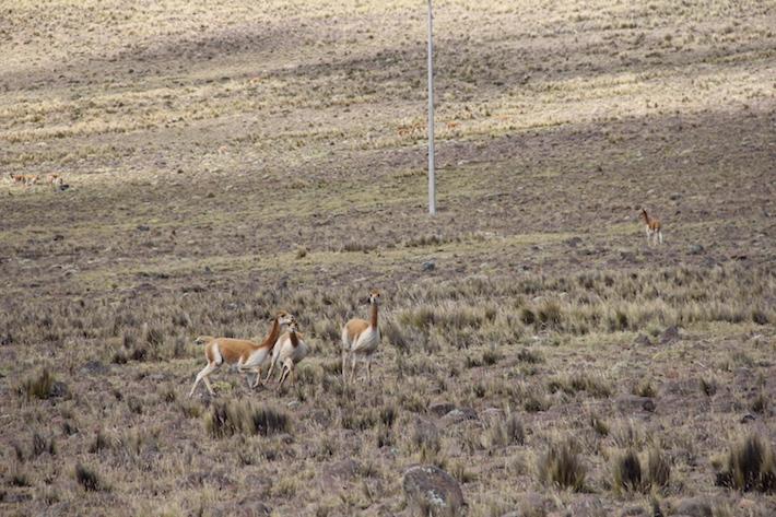 Las vicuñas se declararon en peligro de extinción a finales de la década de los '60 en la lista de la Unión Internacional para la Conservación de la Naturaleza (UICN). Luego del fuerte trabajo para conservarla, está en la categoría de Preocupación Menor. Crédito: Vanessa Romo /Mongabay Latam