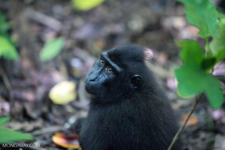 El macaco negro crestado (Macaca nigra) es una especie endémica a la isla de Célebres y otras adyacentes, famoso en los últimos tiempos al viralizarse unos selfies tomados por una hembra. Su estado de conservación es En peligro crítico, debido a la deforestación. Foto: Rhett A. Butler / Mongabay