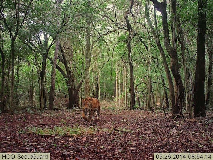 Un jaguar atraviesa uno de los senderos de San Miguelito. Estos félidos pueden estar activos de día y de noche, y también muestran picos de actividad al amanecer y atardecer. Foto de cámara trampa: Duston Larsen / San Miguelito.
