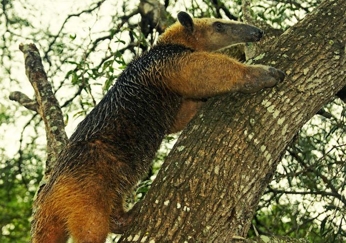 Un Oso Melero (Tamandua tetradactyla) trepa un árbol en San Miguelito. Estos animales son principalmente nocturnos pero ocasionalmente activos en el día. Foto: Eduardo Franco Berton.