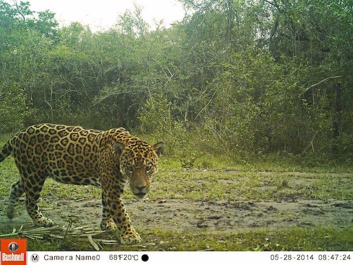 Según CITES, el área de distribución original del jaguar sufrió una disminución del 46 % de acuerdo a la evaluación global del 2002 y la gran pérdida de sus poblaciones, hábitat y presas. Foto de cámara trampa: Duston Larsen / San Miguelito.
