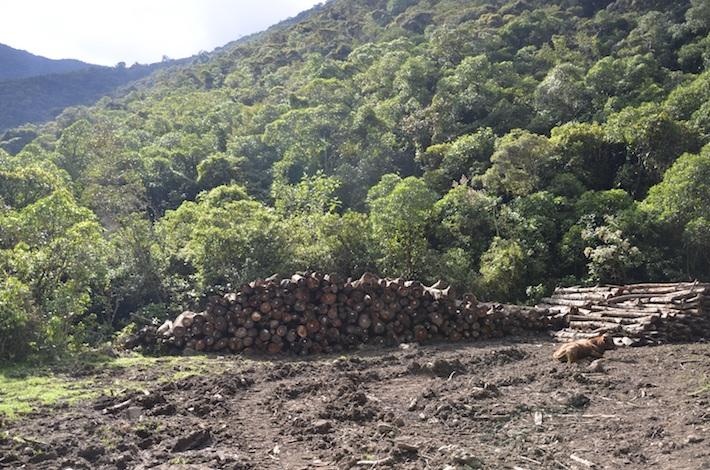 Una de las áreas de acopio de los troncos de árboles talados para la construcción de la represa de la hidroeléctrica Ivirizu. Foto: Miriam Jemio.