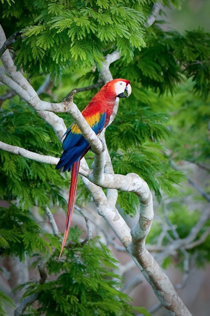 Una guacamaya llega por la mañana al árbol donde tiene el nido de su pichón para alimentarlo. Foto: Rodrigo Soberanes.
