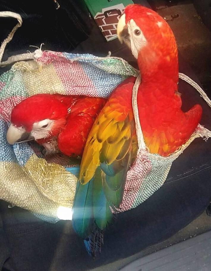 Guacamayas recuperadas del tráfico de fauna por autoridades de Guatemala en noviembre de 2016. Foto: Conap.