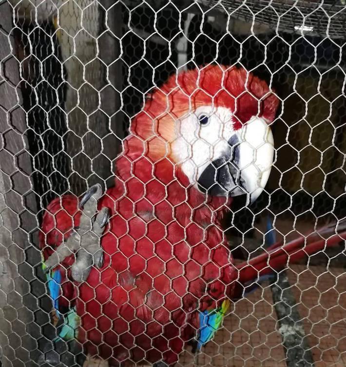 Guacamayas rojas incautadas en mayo de 2018. Foto: Cortesía Conap.