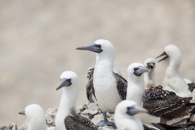 El piquero peruano o alcatraz chileno (Sula variegata) se encuentra en toda la costa peruana y chilena. Es una de las principales aves guaneras en Sudamérica. Fotos: Antonio Escalante.