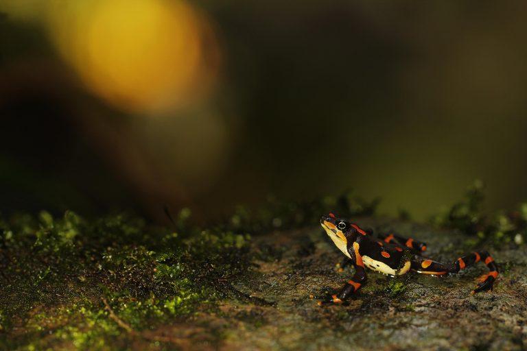 La Atelopus Varius es considerada una especie 'Lázaro' pues reapareció en Costa Rica luego que durante décadas se le considerara extinta. Foto: Diego Gómez Hoyos.