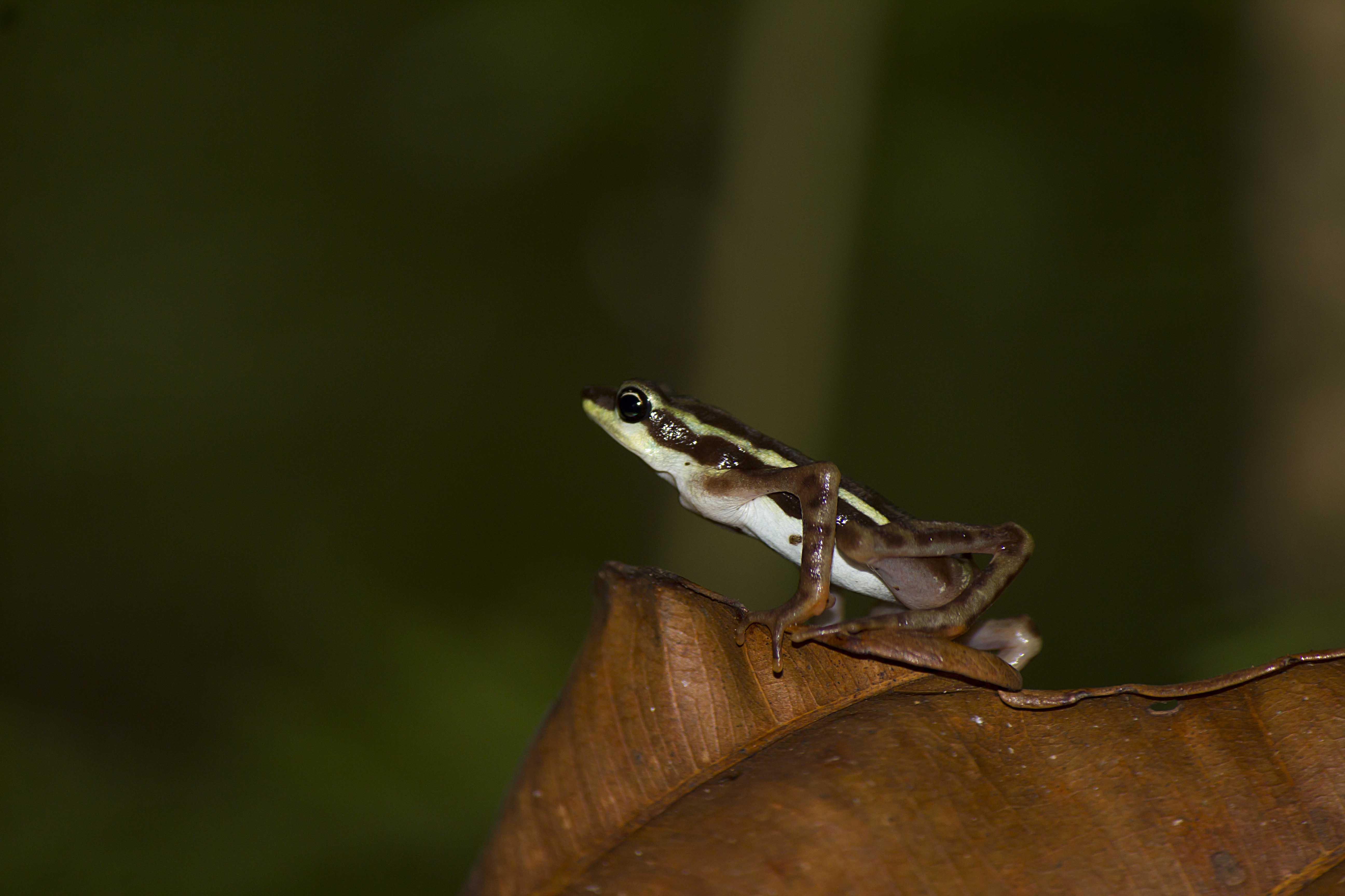 Científicos aseguran que los anfibios fueron los primeros animales que pasaron del agua a la tierra y también son los primeros que están desapareciendo de ella. Foto: Diego Gómez Hoyos.