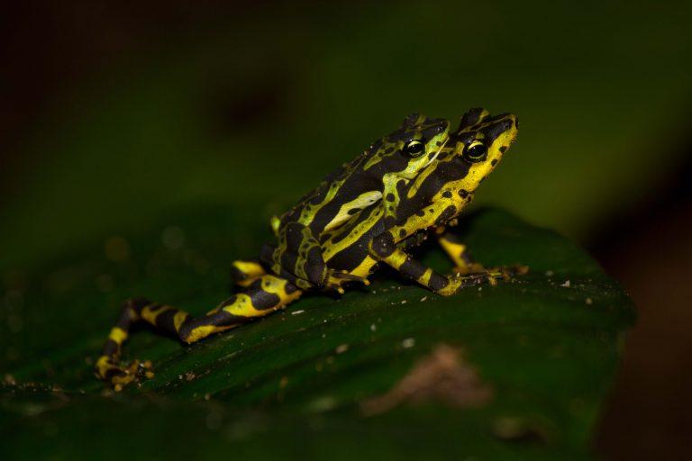 La rana Atelopus Spurrelli todavía es preocupación menor en las selvas del Chocó biogeográfico. Foto: Diego Gómez Hoyos.