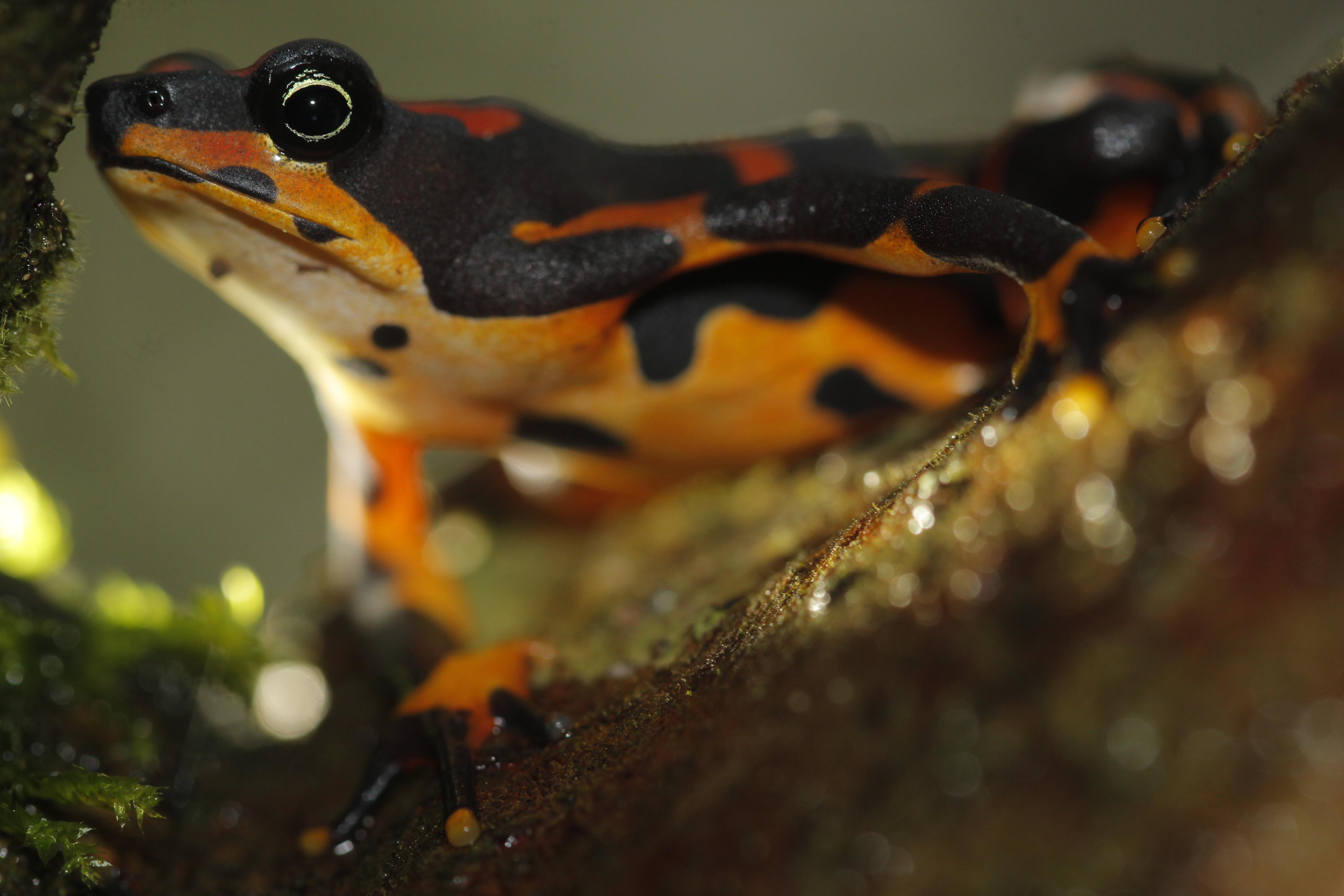 La reaparición de la Atelopus Varius o ranita de Halloween llenó de esperanza a muchos herpetólogos. Foto: Diego Gómez Hoyos.