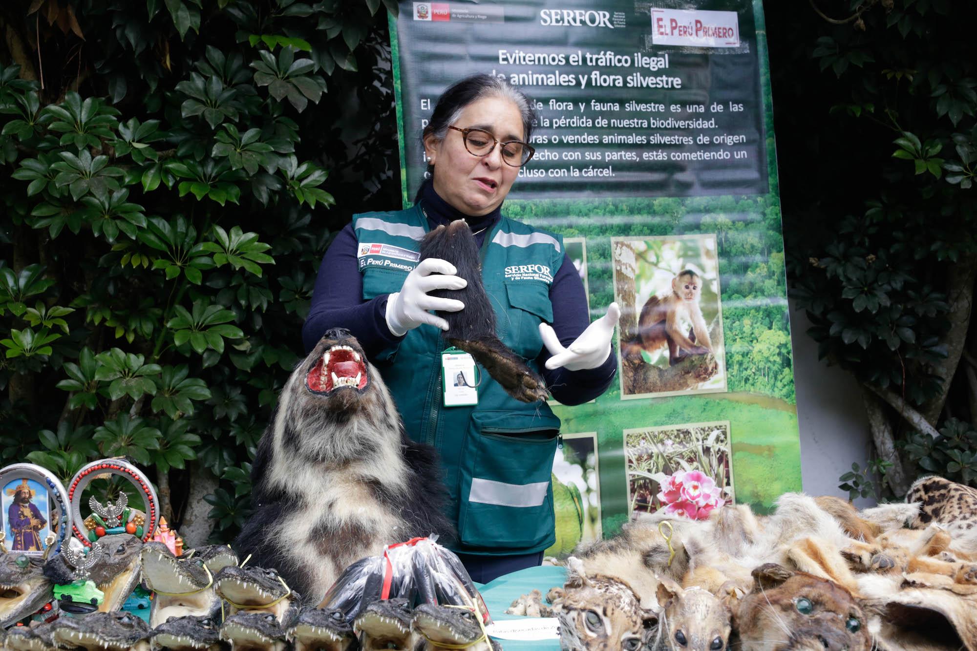Más de mil animales y piezas de ellos procedentes del tráfico de fauna silvestre fueron presentados por el Servicio Nacional de Flora y Fauna SIlvestre. Foto: Serfor.