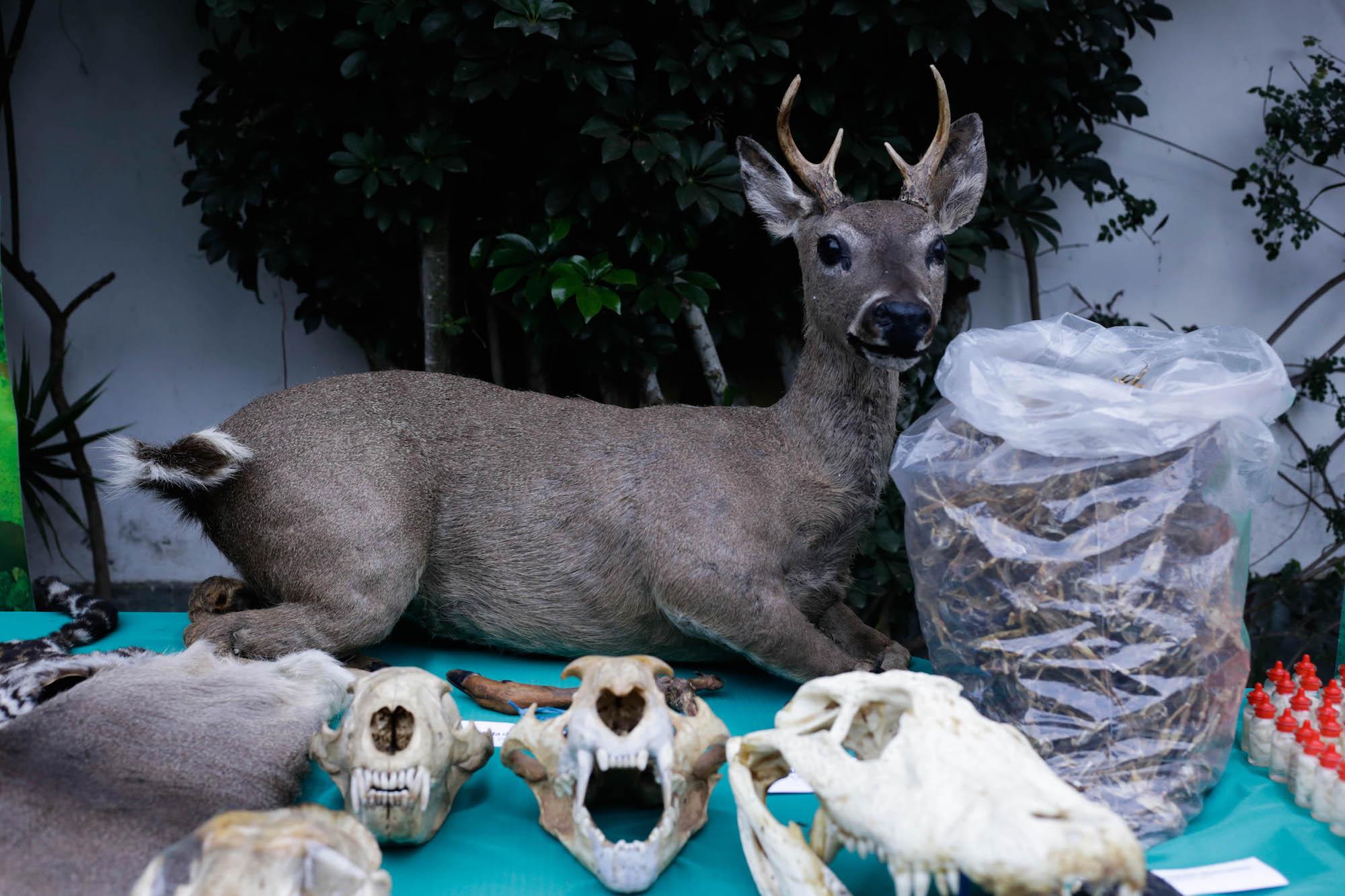 Un venado disecado se encontró en la galería del distrito de La Victoria, en Lima, durante operativo contra tráfico de especies. Foto: Serfor.