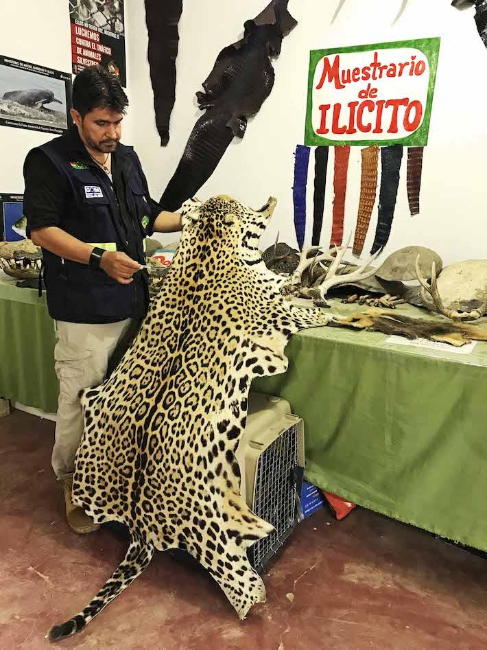Marco Antonio Greminger muestra algunos de los subproductos de vida silvestre que fueron decomisados por su institución en diferentes operativos. Foto: Eduardo Franco Berton
